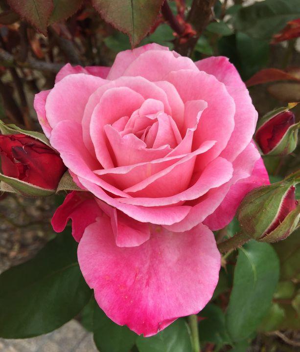 Pink Queen Elizabeth Rose & Rosebuds - Rebecca K. Williams