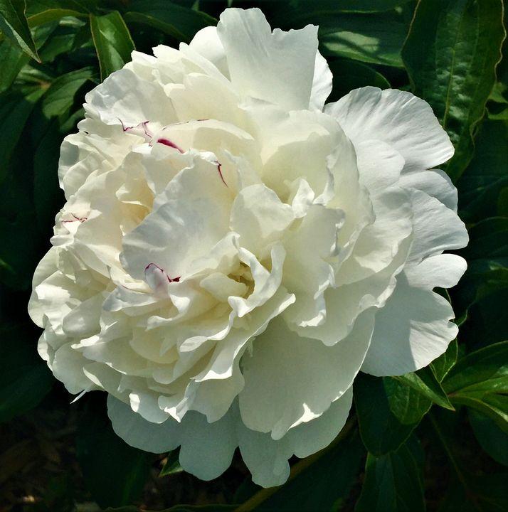 White Double Peony - Rebecca K. Williams