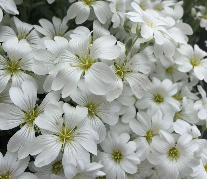 Field of White Blossoms - Rebecca K. Williams