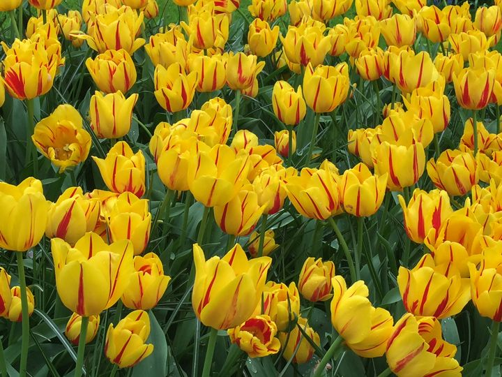 Field of Yellow/Red Striped Tulips - Rebecca K. Williams