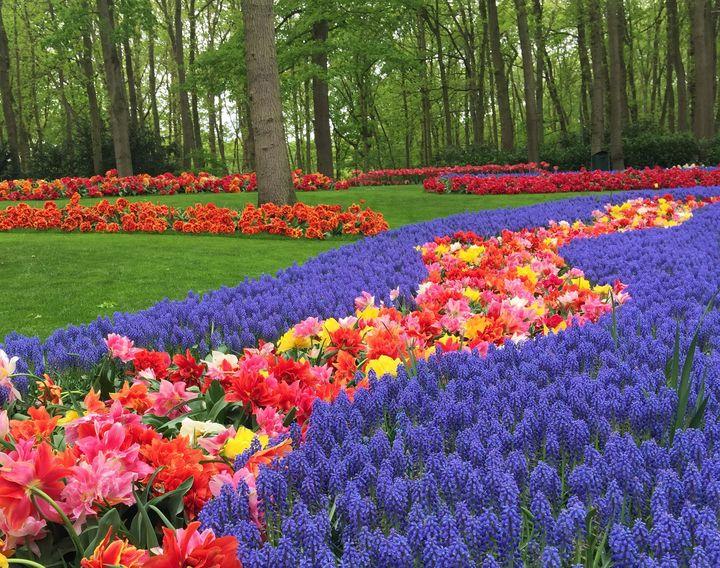 Field of Blue Hyacinths - Rebecca K. Williams