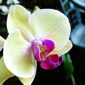 Yellow Phalaenopsis Blossom