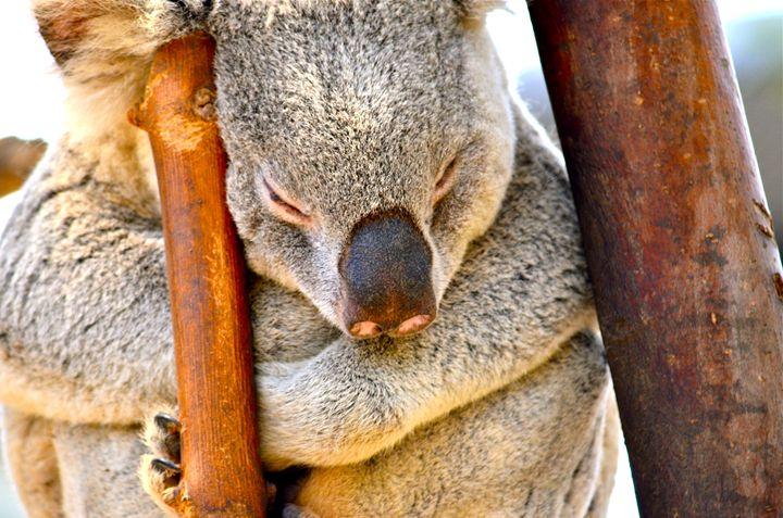 Koala Sleeping - Aili Thomas