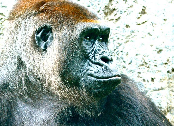Gorilla - Aili Thomas