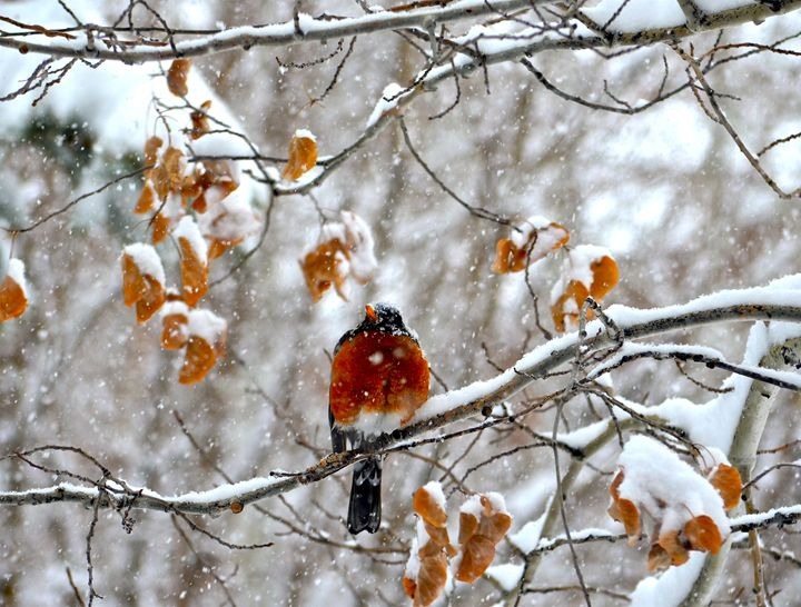 Red Breasted Robin in the Winter - Aili Thomas