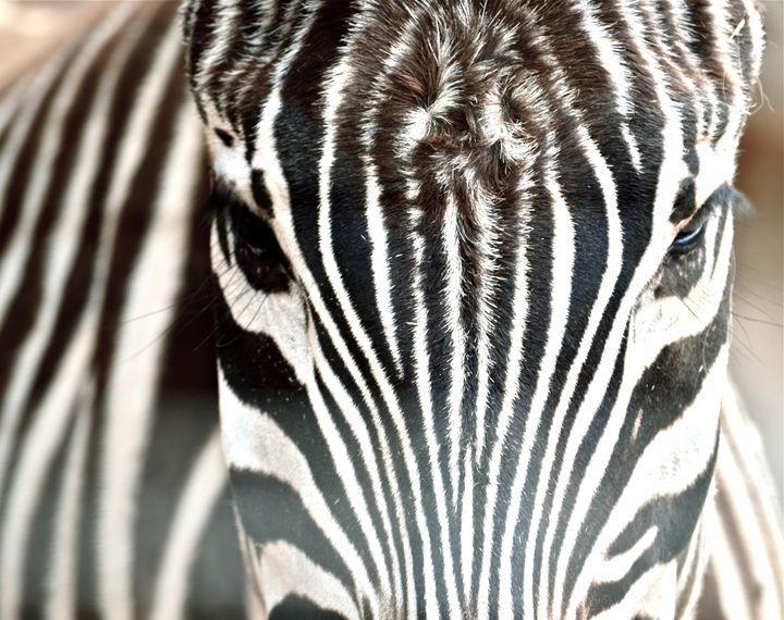 Zebra close-up - Aili Thomas