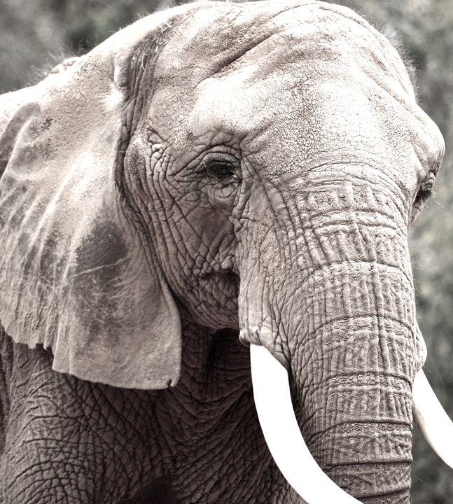 Gray tone Elephant - Aili Thomas