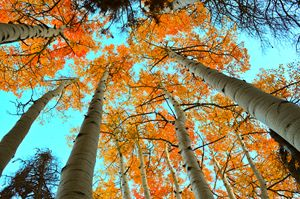 Aspens from Below
