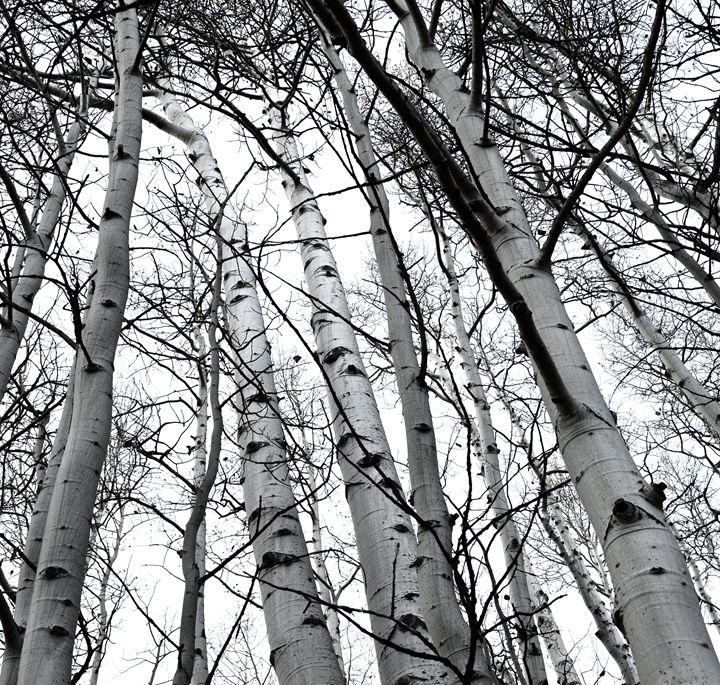 Black and White Aspens - Aili Thomas