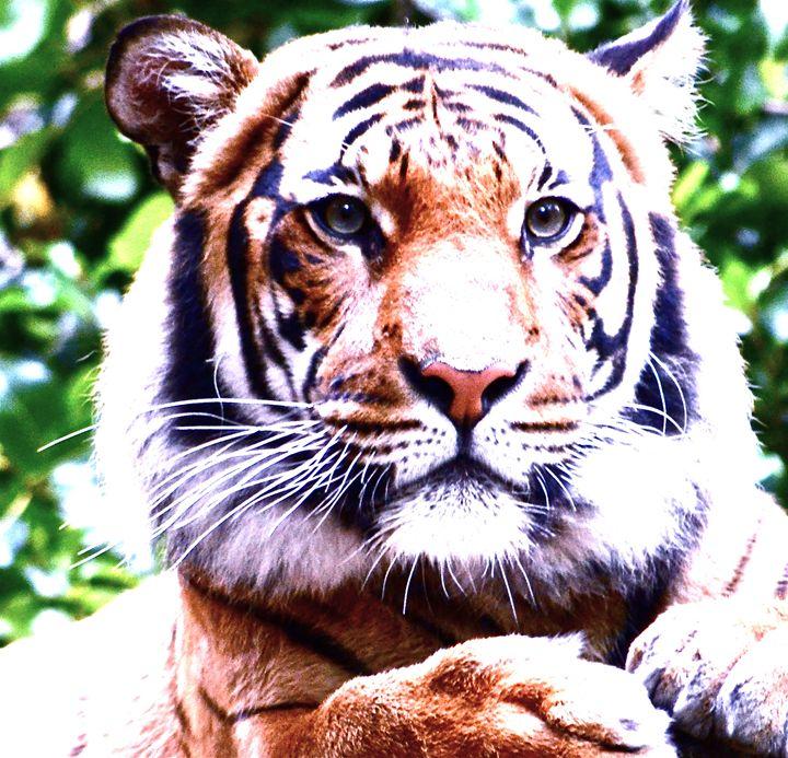 Tiger Face - Aili Thomas