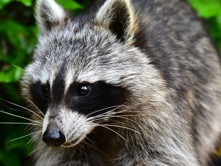Raccoon - DeVerviers