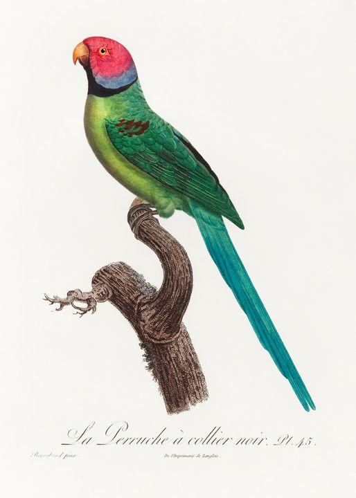 Rose Ringed Parakeet -  Jezzasway