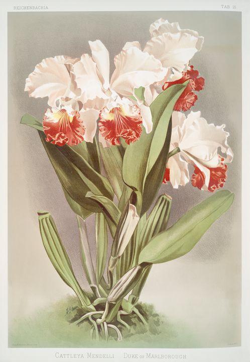 Cattleya Mendelli Orchid -  Jezzasway