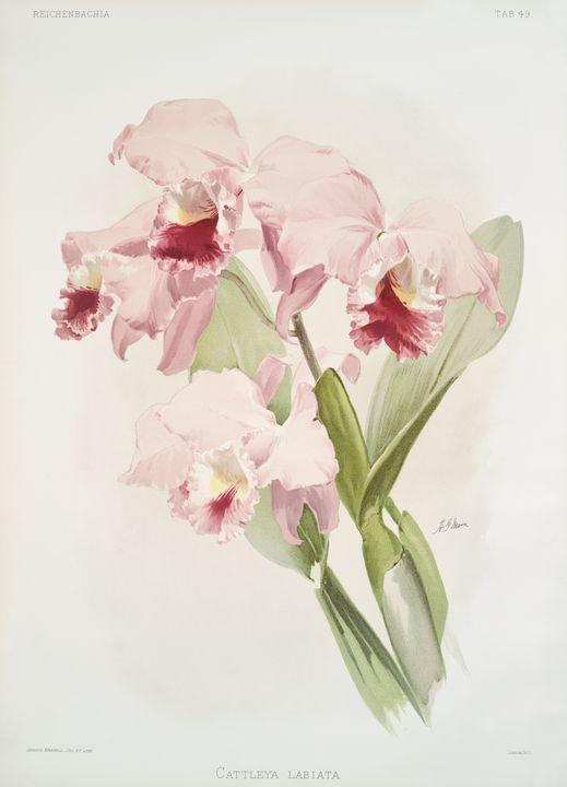 Cattleya labiata Orchid -  Jezzasway