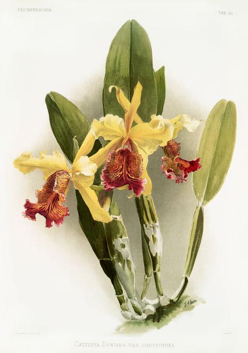 Cattleya Dowiana Orchid -  Jezzasway