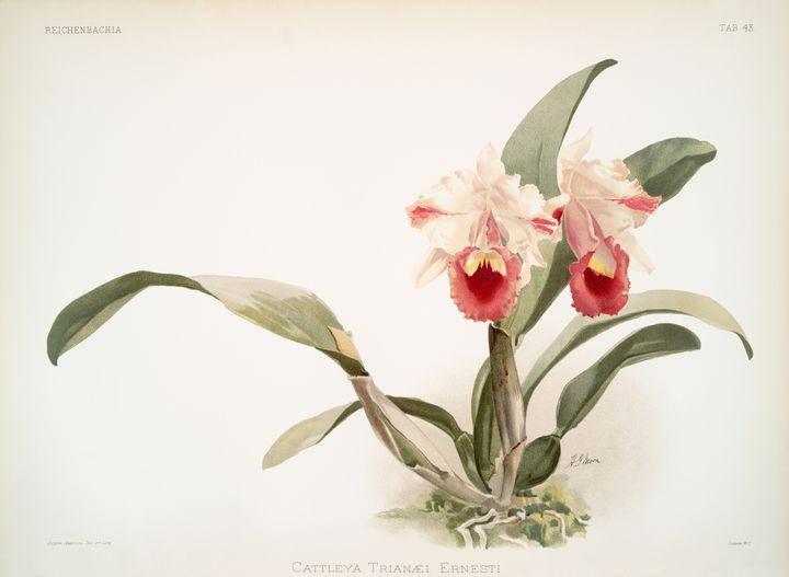 Cattleya labiata trianaei Orchid -  Jezzasway