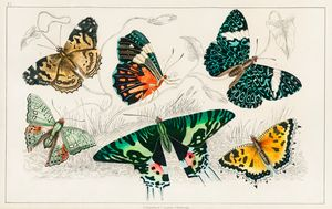 Collection of various Butterflies