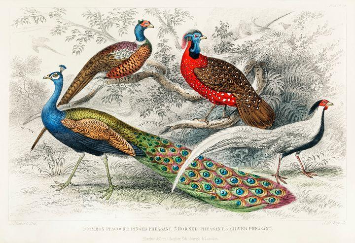 Peacock and Pheasants -  Jezzasway