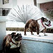 Ruby❤ Jasper👑 English Bulldogs