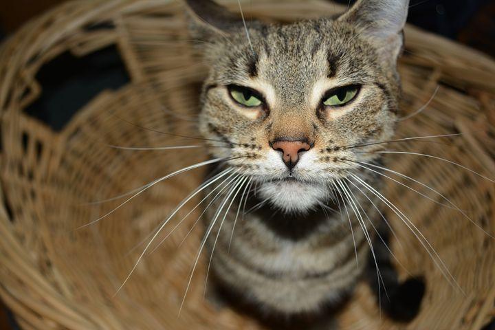 Basket Cat - Christopher Gronski