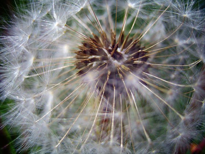 Dandelion - Various Photography