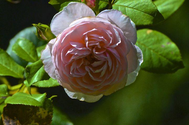 Rosey - PhotosbyNan