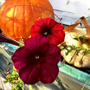 Petunias and pumpkin