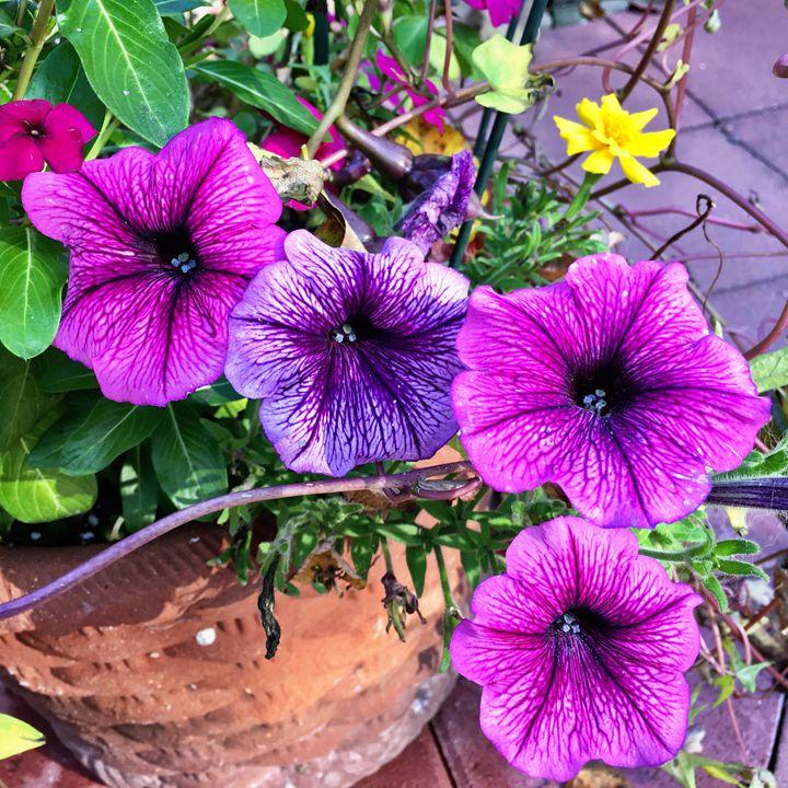 Fall petunias - PhotosbyNan