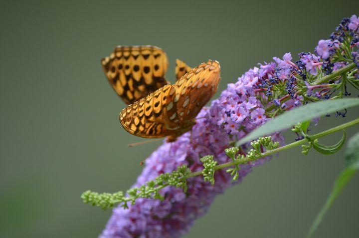 Butterfly bush - PhotosbyNan