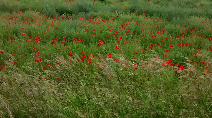 Poppies and the field - Cicaya