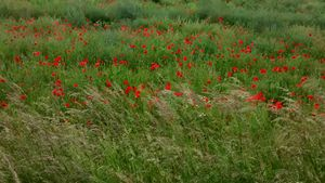 Poppies and the field