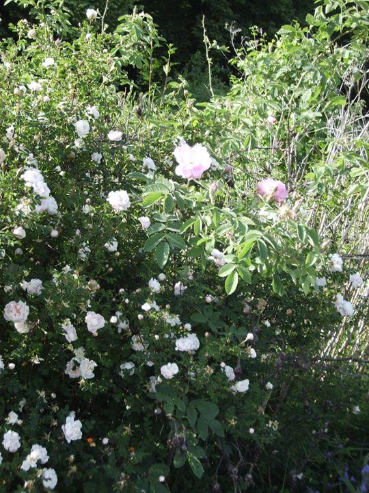 A spot of the garden 4 - Cicaya