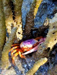 Florida Fiddler Crab
