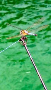 Dragonfly on Fishing Pole