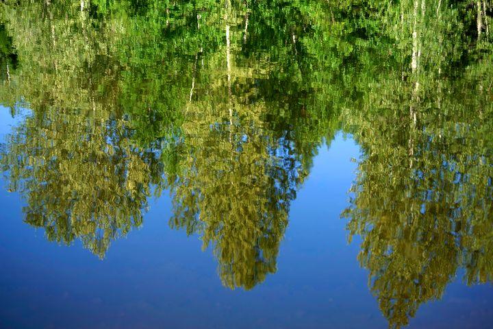 Birch Reflections - Jean Macaluso Fine Art
