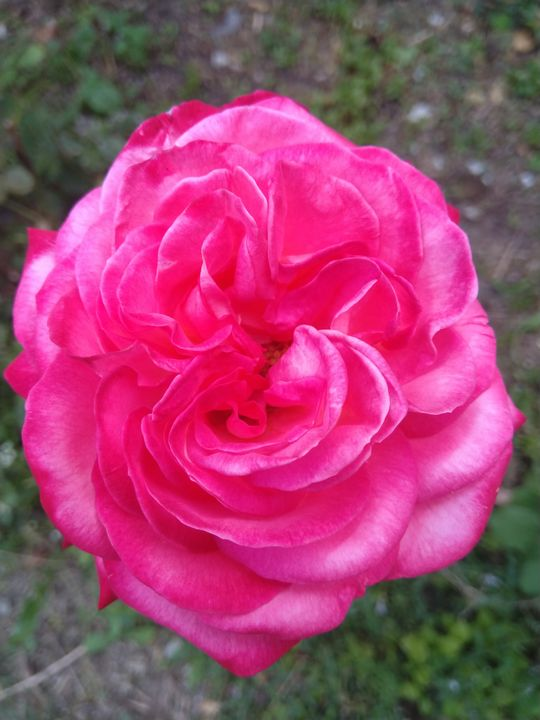 Rose pink - Love of nature