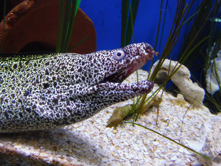 Spotted Moray Eel - Sage Fear