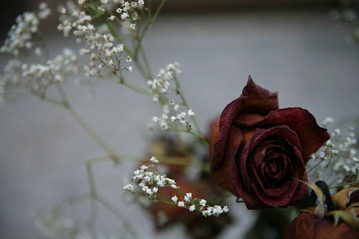 Wilting Rose - Emily Hibbert Photography