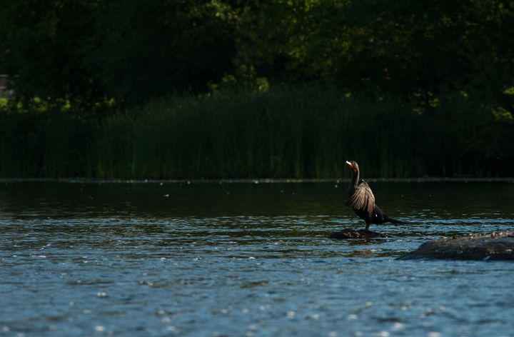 Morning Sun on a Lone Cormorant - IONclad Gallery