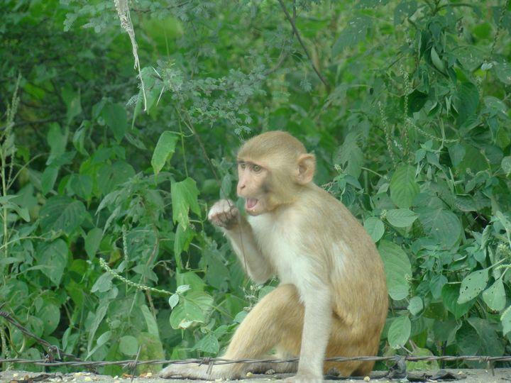 A langur in Agra - Jleopold