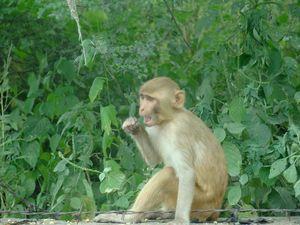 A langur in Agra