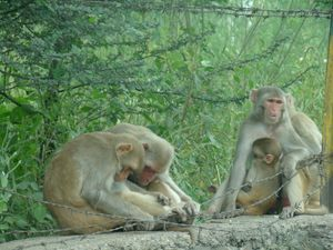 Langurs family in Agra