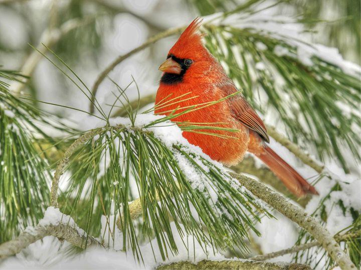 male cardinal 17_2010 - leftysphotos