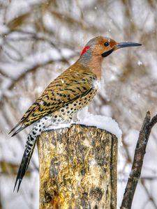 common flicker 3_2010