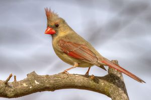 female cardinal 2013