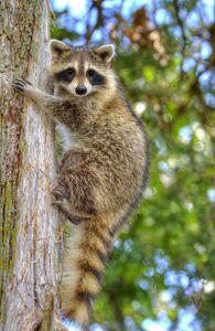 young raccoon 4 2012 - leftysphotos