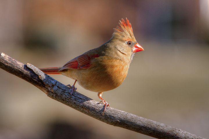 female cardinal 4 2012 - leftysphotos