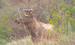 Elk in Cognito