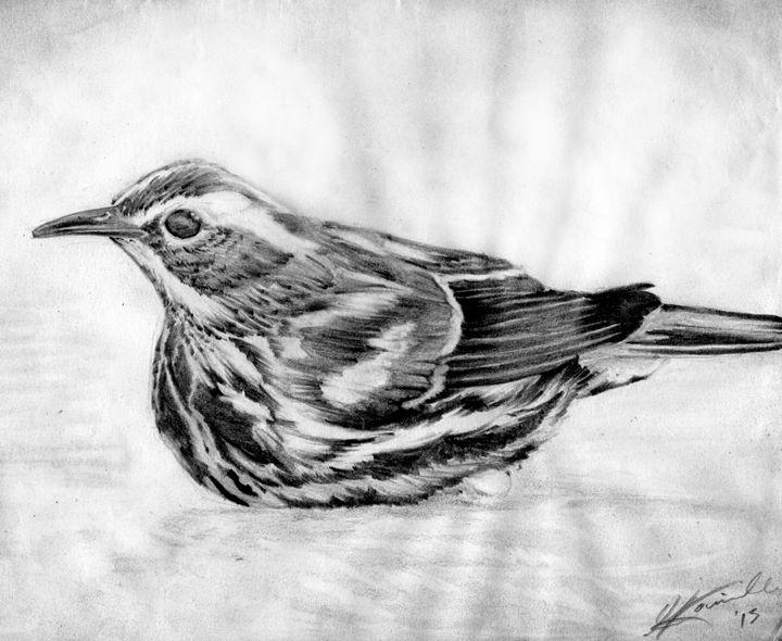 Black-and-white Warbler - Gilles Rainville Illustration