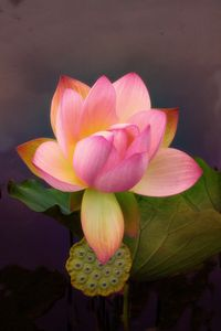Luxuriant Lotus - Jessica Jenney Photography